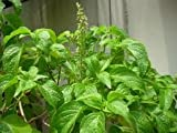 "200+ Tree Basil or ""Yee Lah"" Herbal Seeds Vegetable Seeds"