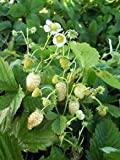 Potomac Banks Strawberry Seeds, Alpine Yellow, Pack of 200 (Comes with Free How to Live Stress Free Ebook)