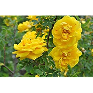 Persian Yellow Heirloom Rose
