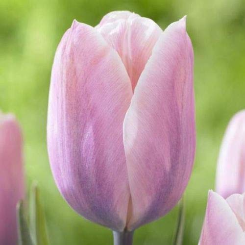 10 Sweet Love Tulip Bulbs Tulipa Quality Blooming Size 12+ cm Fall Planting by thecountrygardenshop