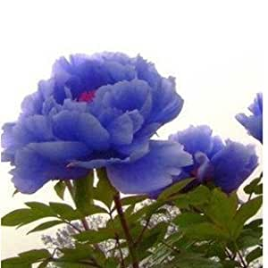 semillas 10pc / lot chino semillas de flor del Peony de 49%