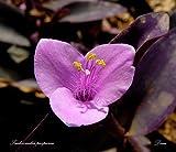 Purple Heart Wandering Jew, Purple Secretia (tradescantia pallida) Rooted Plant
