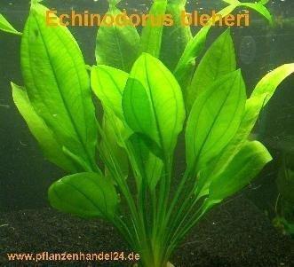 1 pot Echinodorus Bleheri, water plant Feed Decor
