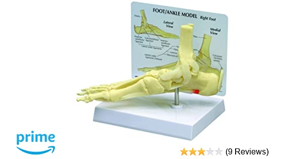 Amazon.com: Foot and Ankle Bone Joint Anatomical Model: Industrial ...