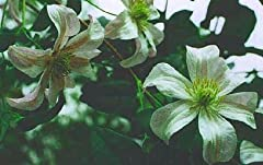 "CLEMATIS: Always called the ""Queen of Vines,"" nothing else makes the spectacular show of a clematis in full bloom. In almost all zones, these magnificent plants decorate mailboxes, trellises and porches with cascades of some of the most beaut..."