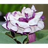 Exotic Plants Datura metel purple - - 15 semi