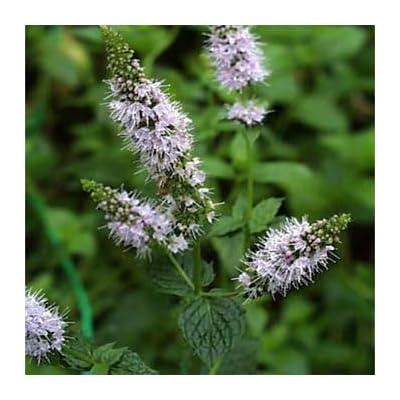 HOT - Peppermint Herb Seeds/Mentha Piperita/Perennial 100 Seeds : Garden & Outdoor