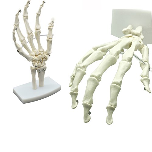 MAYMII PVC Human Hand Skeleton Medical Anatomical Model on Base Stand, Life Size, Articulated -