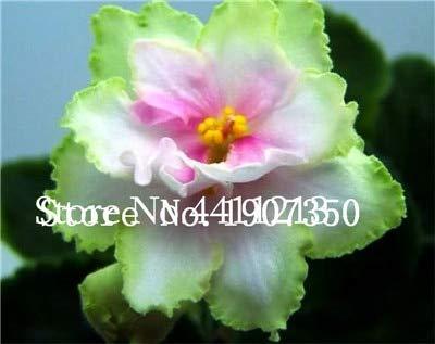 Kasuki 120 Plants Exotic African Violet Plants Mixed Colors Flower Bonsai Saintpaulia Ionantha Garden Bonsai Plant Pot Perennial Herb - (Color: ()