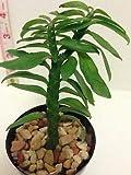 1 Cactus Succulent Hardy Plant Euphorbia Tithymaloides Devil's Backbone 3 inch Pot