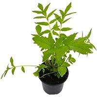 Valeriana Planta Natural 10cm Valeriana Officinalis Pequeña en Maceta