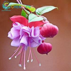 20 Pc Beutel Abutilon Striatum Samen Diy Topfpflanzen Heim