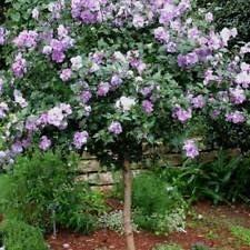Hibiscus syriacus rosa púrpura de invierno SHARON 25 semillas resistentes