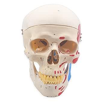 Calavera humana anatómica de tamaño premium con números