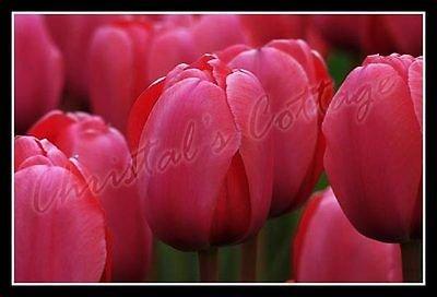 Amazon 10 plain colour tulips autumn gardening spring flower 10 plain colour tulips autumn gardening spring flower bulb corm red pink white mightylinksfo