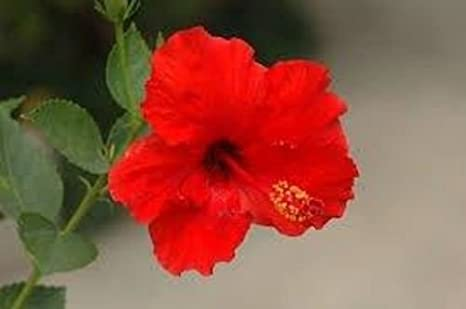Amazoncom Hibiscus Brilliant Red 1 Plant 45 Quart Pot