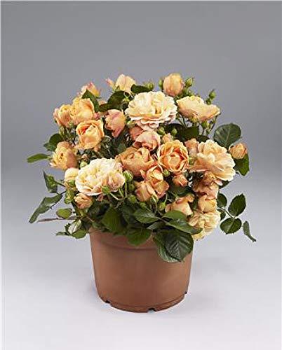 Parade Chantal Miniature Rose Bush - Fragrant/Hardy - 4