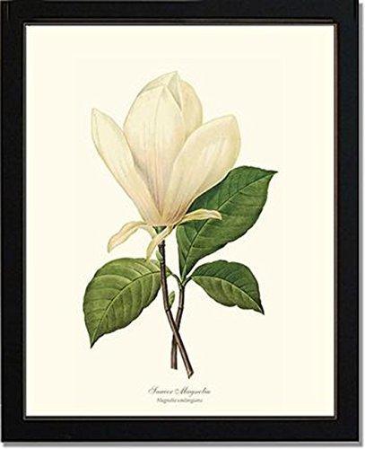 Vintage Botanical Flower Art Print: Magnolia, Saucer (Redouté)