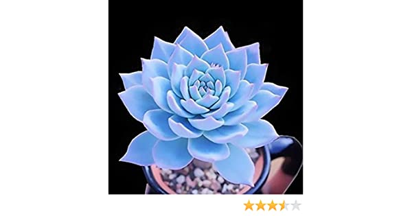 Echeveria Subsessilis BLUE rare succulent hen and chicks plant seed 100 SEEDS