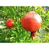 (1 gallon)Russian Pomegranate Tree, Cold Tolerant,very Sweet Fruit,