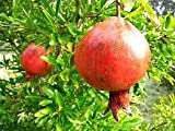 (1 gallon)Russian Pomegranate Tree, Cold Tolerant,very Sweet Fruit,