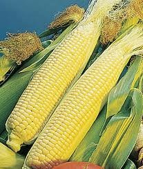 The Dirty Gardener Golden Queen Corn Seeds - 1 Pound