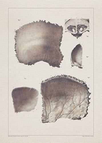 Anatomy SKULL OCCIPITAL BONE print SRA3 12x18 conqueror laid - Skull Occipital Bone