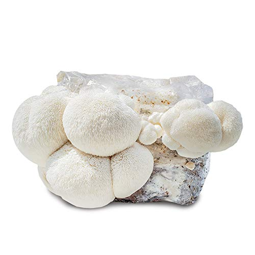 Grow Your Own Mushrooms Kit - Colonized Lion's Mane Mushrooms - Indoors kit - Grow up to 4 - Patch Outdoor Mushroom