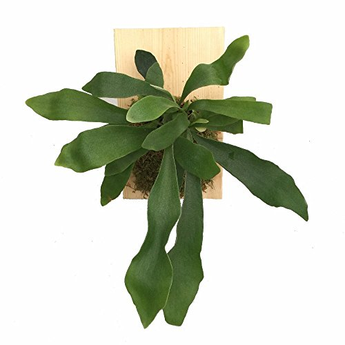 "Staghorn Fern Growing on Natural Wooden Plaque - Exotic Houseplant - 9"" x 5.5"""