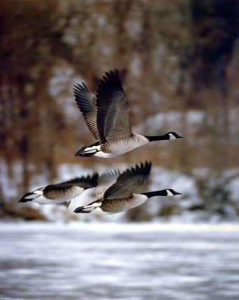 (Wildlife Animal Wall Decor Canadian Geese Bird in Flight Art Print Poster (16x20))