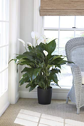 Costa Farms Peace lily, Spathiphyllum, Live Indoor Plant, 3-Feet Tall, Ships in Décor Planter, Fresh From Our Farm, Excellent Gift or Home Décor by Costa Farms (Image #2)