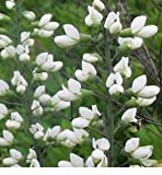 White Wild Indigo (Baptisia alba), 50 Certified Pure Live Seed, True Native Seed