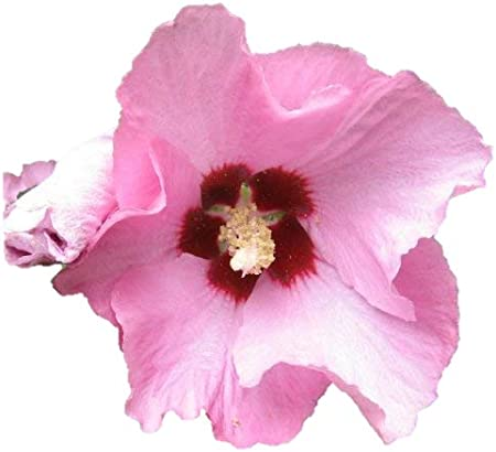 -Cold Hardy Perennial ! Hibiscus syriacus Hibiscus,Rose of Sharon 50 Seeds