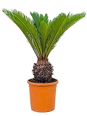 Palmfarn 60 80 Cm Im 24 Cm Topf Pflegeleichte Zimmerpflanze Sonniger