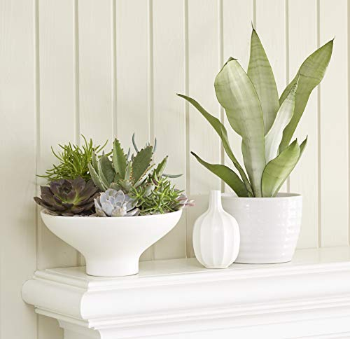 Costa Farms Snake Plant, Mother-in-Law's Tongue, Sansevieria, 4-inch Grow Pot, Easy to Grow, 4-Pack by Costa Farms (Image #5)