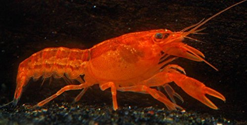 Imperial Tropicals Orange CPO Dwarf Mexican Crayfish - Pair (Male/Female) -...