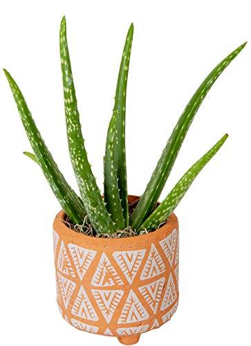 Costa Farms Aloe Vera Live Indoor Plant Ships in Modern Ceramic Planter, 10-Inch Tall, Green