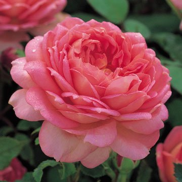 David Austin English Roses Jubilee Celebration