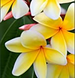 Plumeria - Select Yellows & Whites PLANTS - Not Just Cuttings! FRAGRANT Blooms This Summer! Stout 12