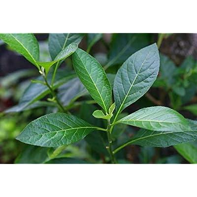 1 Cây mật gấu - Bitter Leaf Plant – Vernonia amygdalina Live Plant : Garden & Outdoor