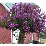 Catawba Purple Crape Myrtle Tree - Live plants shipped 1-2 feet tall (No California)