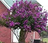 Catawba Purple Crape Myrtle Tree - Live Plants Shipped 1 to 2 feet Tall by DAS Farms (No California)