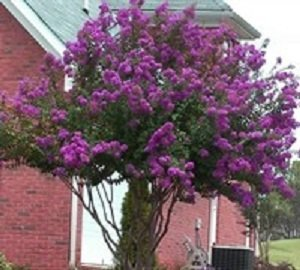 Catawba Purple Crape Myrtle Tree - Live plants shipped 1 to 2 feet tall by DAS Farms