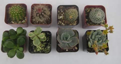 (Instant Cactus/Succulent Collection - 8 Plants 2