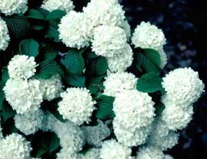 Amazon 1 gallon japanese snowball pure white clusters of 1 gallon japanese snowball pure white clusters of flower heavily in spring mightylinksfo
