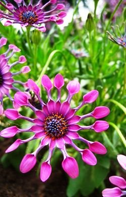 (PDAI)~Glorious~MIXED AFRICAN DAISY~Seeds!!!!~~~~Radiant Varieties!!!