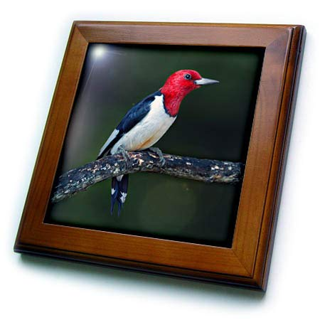 3dRose Stamp City - Birds - A red-Headed Woodpecker on The Branch of a Tree Posing for The Camera. - 8x8 Framed Tile (ft_290777_1)