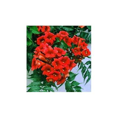 Rare Dark Red Hummingbird Trumpet Vine! HARDY! 20 seeds! : Garden & Outdoor