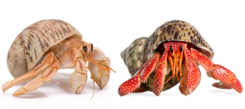 Live Hermit Crabs Shipped Now product image