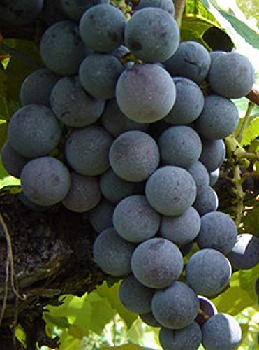 Venus Blue Seedless Grape, Live Potted Grape Plant 1-2 Years Old ()